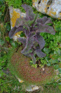 St-Catherines-Fort-052012-Outside-cabbage2