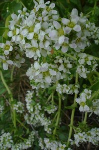 St-Catherines-Fort-052012-Plant-white1