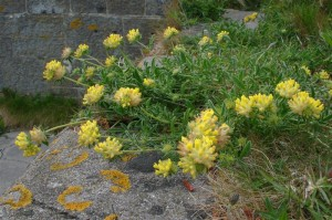 St-Catherines-Fort-052012-Roof-yellowflower1
