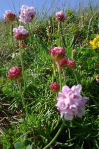 St-Catherines-Fort-052012-pinkflower10