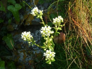St-Catherines-Fort-052012-plant-misc8
