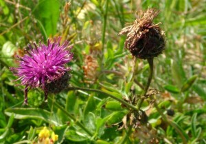 St-Catherines-Fort-062012-Purple-flower3