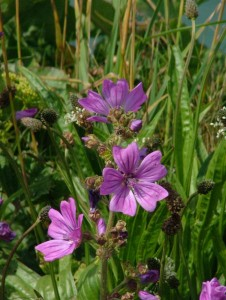 St-Catherines-Fort-062012-purple-flower2