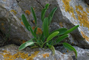 St-Catherines-Fort-062012-rockplant
