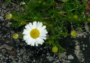 St-Catherines-Fort-062012-yellowwhite2